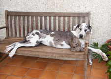 Great Dane Sleeping. A Great Dane Dog sleeing on a chair Royalty Free Stock Photo