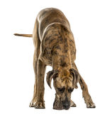 Great Dane smelling the ground, isolated Stock Photo