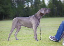 Great Dane sniffing Royalty Free Stock Image