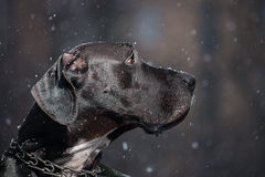 Great Dane Royalty Free Stock Photos