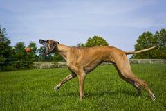 Great dane som försöker att fånga den orange bollen i mitt- luft Arkivfoto
