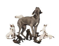 Great Dane standing in the middle of cats playing Royalty Free Stock Photography