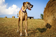 Great Dane standing next to hay bale in field Stock Photo