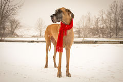 Great dane standing with scarf. A fawn great Dane stands in the snow wearing a red scarf Royalty Free Stock Photography