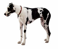 Great Dane Standing on White Stock Photography