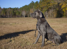 Great Dane waiting for commands. Great Dane female sitting on a field waiting for commands from a master seen only in a shadow Royalty Free Stock Photos