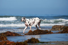Great Dane Walking on Beach Royalty Free Stock Photography