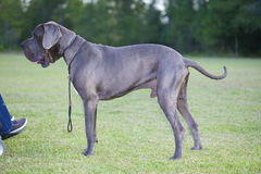 Great Dane and wheelchair Royalty Free Stock Images