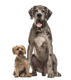 Great Dane and Yorkshire sitting Royalty Free Stock Image