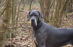 Great  Dane youngster Stock Images
