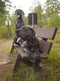 Great Danes on a bench Stock Photo