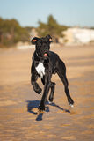 Great danes black dog running on the beach Royalty Free Stock Image