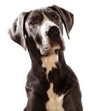 Great Danes dog. Blue Geat Danes dog, white background stock images