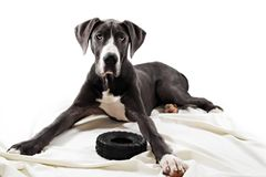 Great Danes dog royalty free stock image