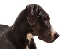 Great Danes dog. Headshot of Blue Geat Danes dog isolated on white stock photos