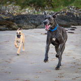 Great Danes in a Natural Setting. Great Danes outside on a beach royalty free stock image