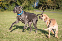Great Danes in a Natural Setting. Great Danes outside in a grassy meadow stock images