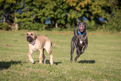 Great Danes in a Natural Setting. Great Danes outside in a grassy meadow royalty free stock image