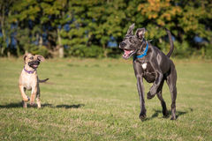 Great Danes in a Natural Setting. Great Danes outside in a grassy meadow royalty free stock photos