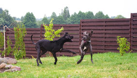 Great danes playing. Two great danes playing roughly royalty free stock photo