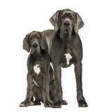 Great Danes sitting and standing, isolated Stock Images