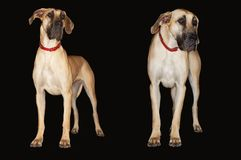 Great Danes Standing Side By Side Royalty Free Stock Photo