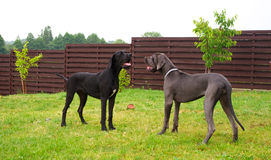 Great danes playing. Two great danes talking and looking funny stock images