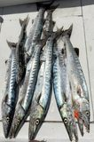 Great day of fishing for barracuda Royalty Free Stock Photo