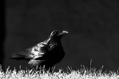 Crow or Raven royalty free stock images