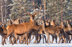 Great deer cervus elaphus surrounded by herd. Portrait of deer stag,while looking at you in winter time. Artwork of Red deer,sta Stock Photos