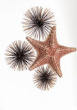 Great detailed view of starfish with decorated sea urchins on white, grey background Stock Image