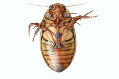 Great Diving Beetle royalty free stock image