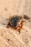 Great diving beetle (Dytiscus marginalis) Royalty Free Stock Photo