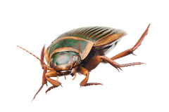 Great diving beetle Stock Photo