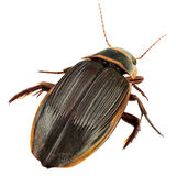 Great diving beetle stock photos