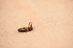 Great diving beetle (Dytiscus marginalis) Stock Photography