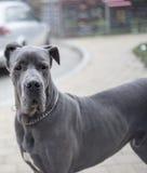 Great  dog Royalty Free Stock Image