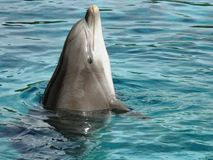 Great dolphin tursiops. Portrait of great dolphin tursiops in a pond Royalty Free Stock Photo