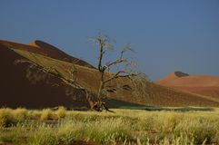 Great dunes (Namib desert). Dead tree in front of the big dunes (Namib Naukluft Park, Namibia Royalty Free Stock Photo