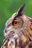 Great Eagle Owl Royalty Free Stock Photo