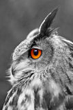 Great Eagle Owl Stock Images