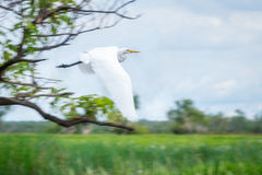 A Great Eagret in flight at Corroboree Billabong in Northern Territory, Australia Stock Image