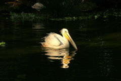 Great (Eastern) White Pelican. The Pelican was in the Botanical Gardens in Durban Royalty Free Stock Images