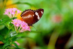 Great egg fly butterfly on pentas lanceolata flowers Stock Images