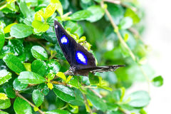 Great egg fly Royalty Free Stock Images
