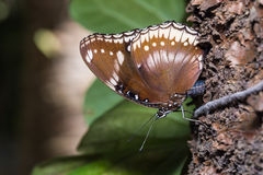 Great Eggfly butterfly Royalty Free Stock Photography