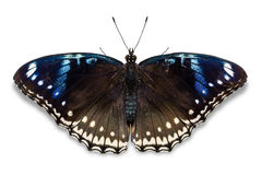 Great Eggfly butterfly Royalty Free Stock Images