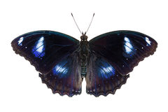 Great Eggfly butterfly Stock Image