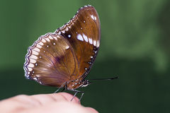 Great Eggfly butterfly Stock Photography