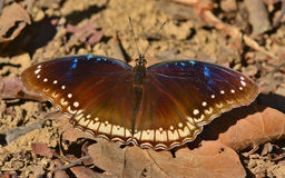 Great eggfly Royalty Free Stock Photography